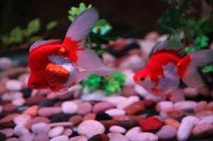 观赏鱼混养 配对建议及注意